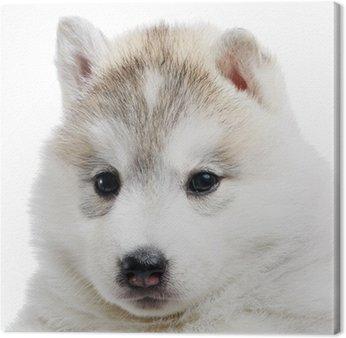 Jeden Siberian husky puppy izolowane