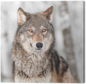 Grey Wolf (Canis lupus) z jednym uchu Powrót