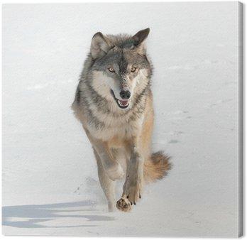 Grey Wolf (Canis lupus) Bieg Prosto na widza