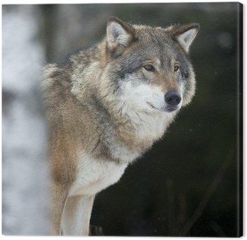 Wilk w Cold Winter