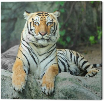 Tygrys na skale
