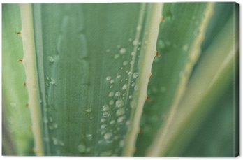 Agave leaf background with drops