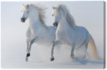 Dwa galopujący śnieżnobiałe konie