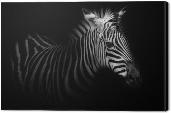 Zebra portrait - black background