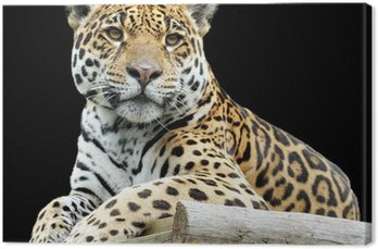Piękne Tygrys Samodzielnie na czarnym tle