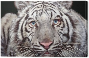 Biały tygrys