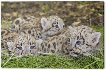 Paczka Snow Leopard (uncia uncia lub Panthera uncia) dzieci