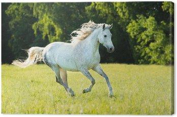 Białego konia arabskiego biegnie galopem w świetle słońca