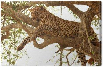 Leopard w drzewo