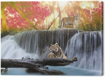 Tygrys w Waterwall