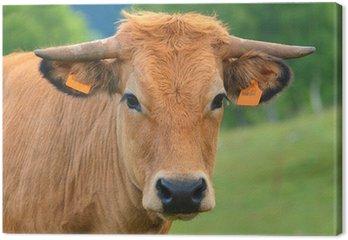 Aubrac cow race