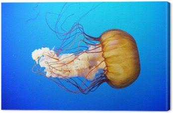 Pomarańczowy meduzy (Chrysaora fuscescens)