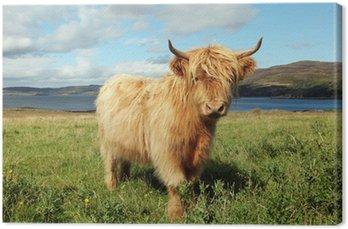Bliska Scottish Highland krowy w polu