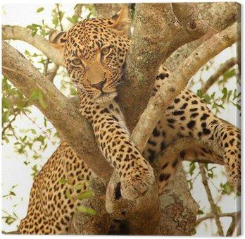 Leopard w drzewo w Sabi Sands Reserve