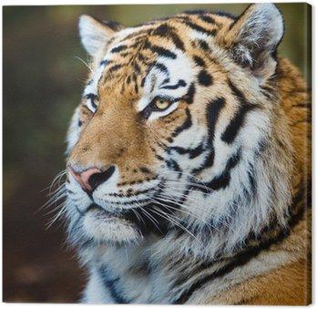 Zbliżenie z tygrysa syberyjskiego również wiedzieć, jak amur tygrys (Panthera ti