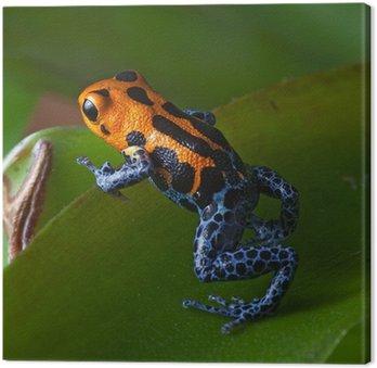 Czerwone paski, dart nogi trucizna Blue Frog