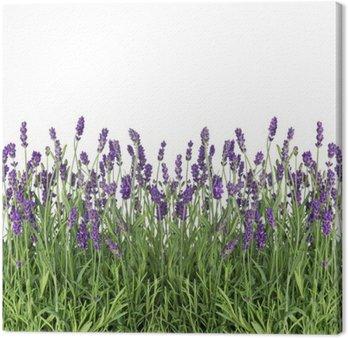 Świeże kwiaty lawendy samodzielnie na białym tle