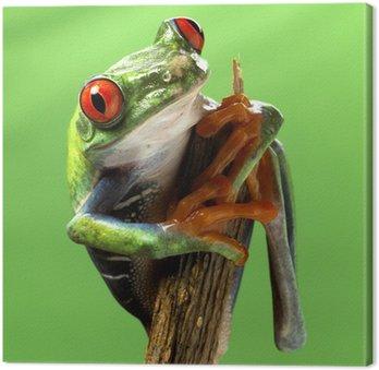 Czerwony eyed makro treefrog samodzielnie egzotyczne zwierzę żaba ciekawy bryg