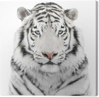 Odizolowanych biały tygrys