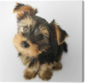 Yorkshire terrier - Portret cute puppy