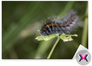 Black-orange caterpillar